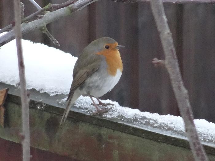 GardenBirds.Robin.2014